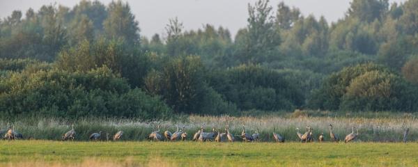 common cranegrus grus gathering