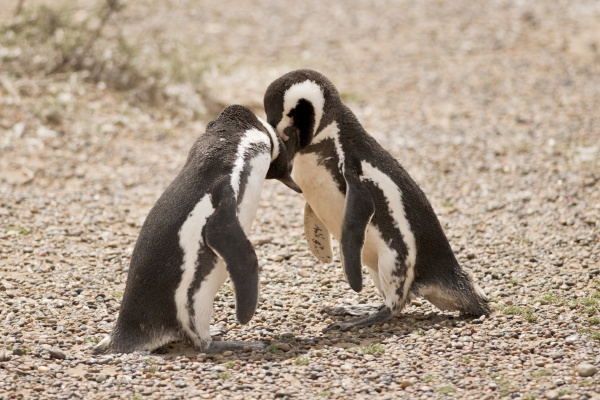 two magellanic penguin playing