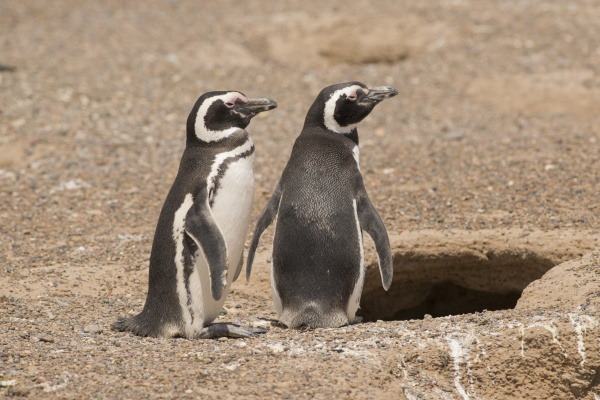 two magellanic penguin standing in front