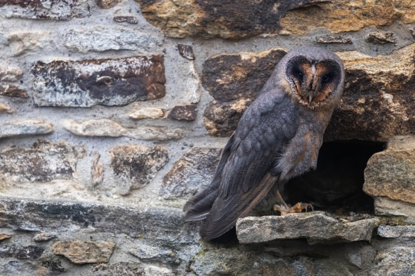 dark form of barn owl on