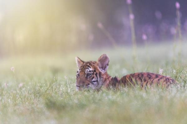 cute bengal tiger cub lying in