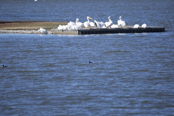 flock of american pelicans