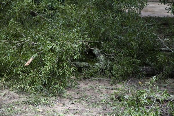 downed tree limbs