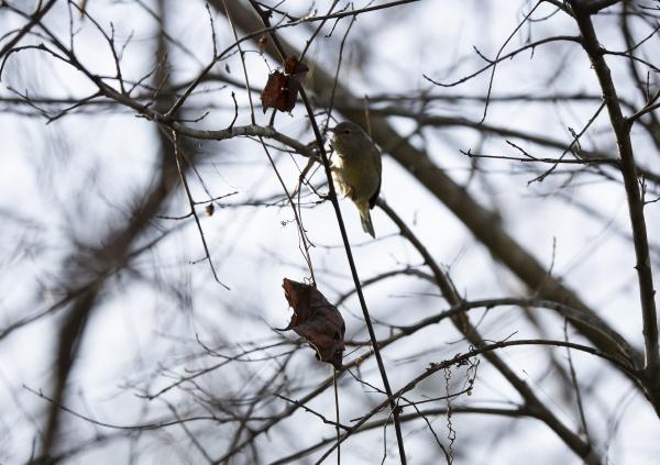 orange crowned warbler landing