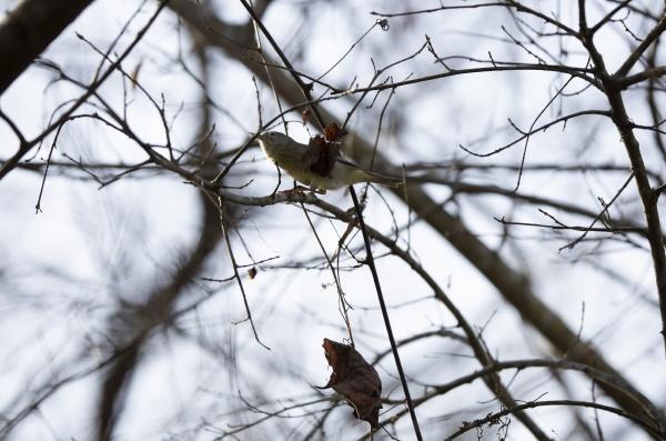 orange crowned warbler on a winter