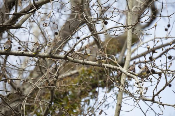 flock of cedar waxwings