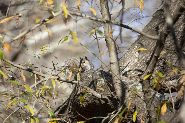 cute eastern gray squirrel foraging