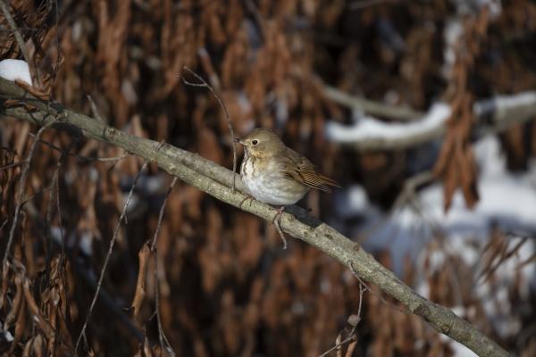 majestic hermit thrush
