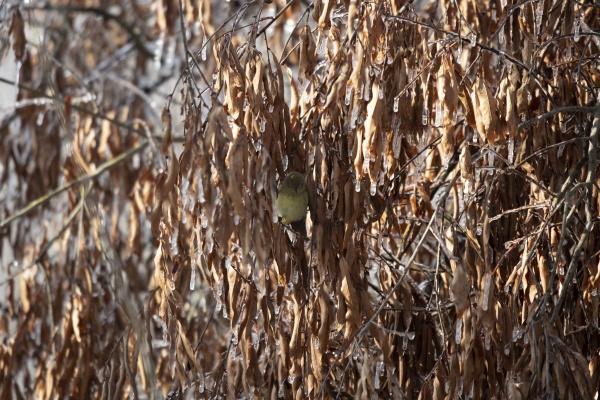 curious orange crowned warbler
