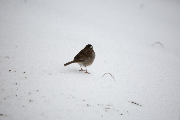 white throated sparrow foraging
