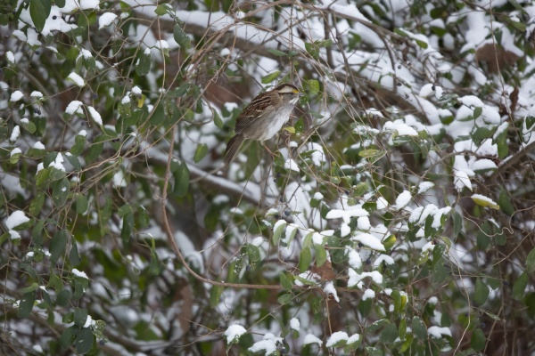 white throated sparrow eating a purple