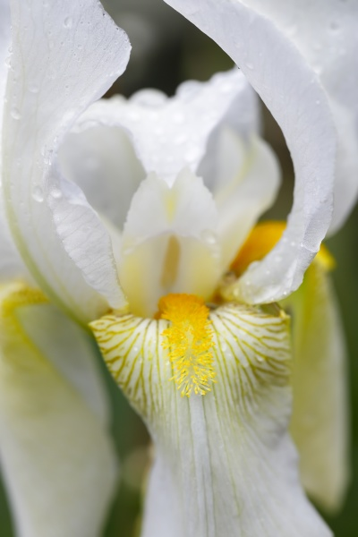 close up of a white iris