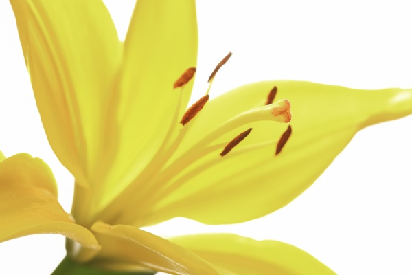 close up of a yellow lily