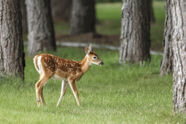 small fawn moving in the grass