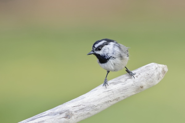 mountain chickadee perched on a branch