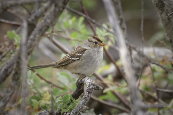 cute white crowned sparrow on a