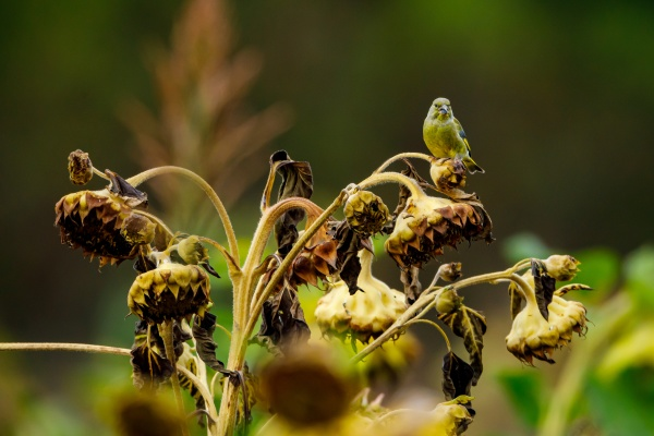 a greenfinch at a sunflower
