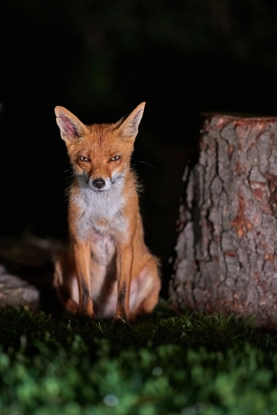 fox at night in the countryside