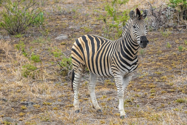 beautiful striped zebra in kruger national