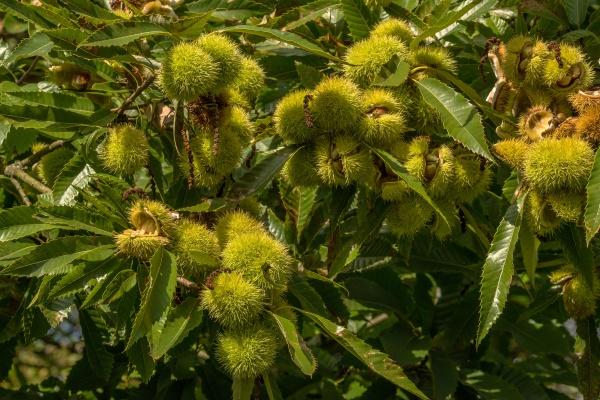 chestnut castanea sativa ripe fruit on
