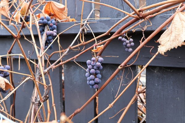 views of ripe grapes in the