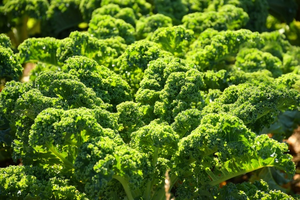 green kale in cultivation in autumn