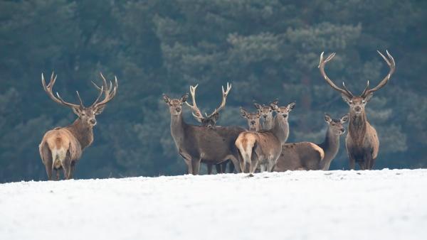 group of red deer looking on