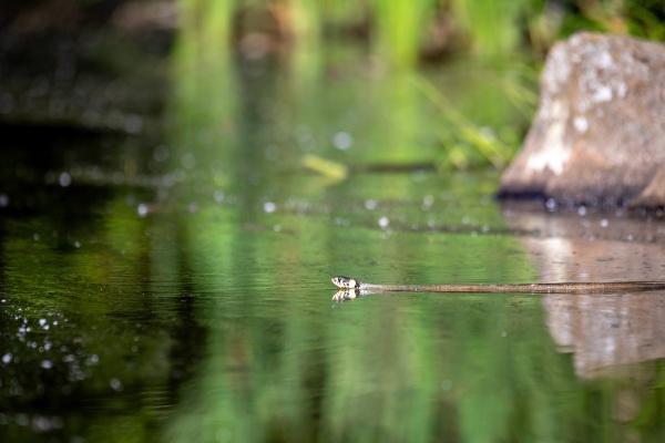 the grass snake natrix natrix swims