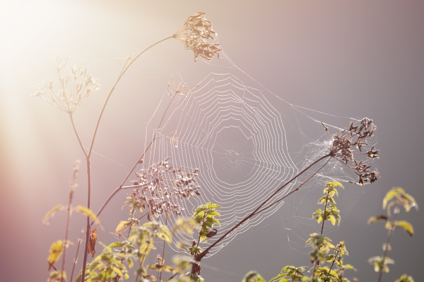 close up of a cobweb spider
