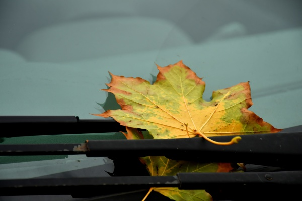 autumnal colored maple leaf on windshield