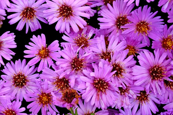 aster flowers in a full format