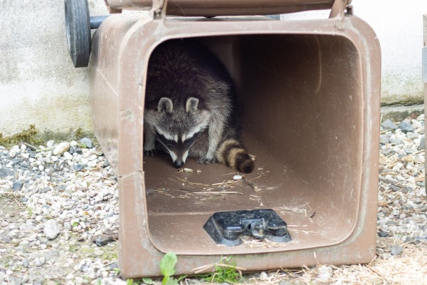 a raccoon procyon lotor in a