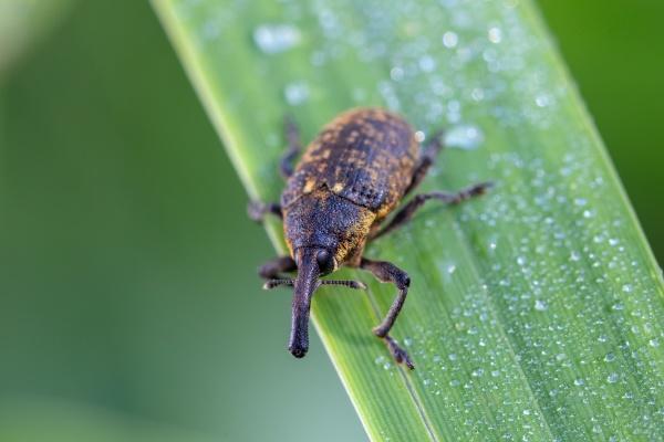 insect beetle black vine weevil