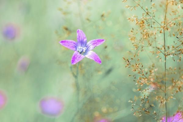flower campanula patula wild flowering plant