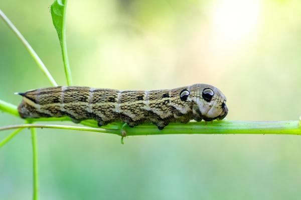 large caterpillars of deilephila elpenor
