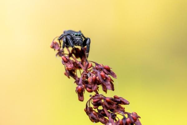 black jumper evarcha arcuata jumping spider