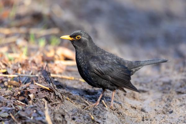 male of common blackbird in nature