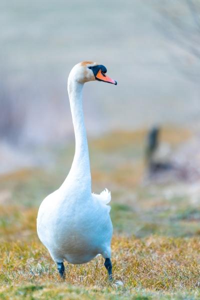 common big bird mute swan walking