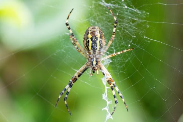 argiope bruennichi wasp spider on web