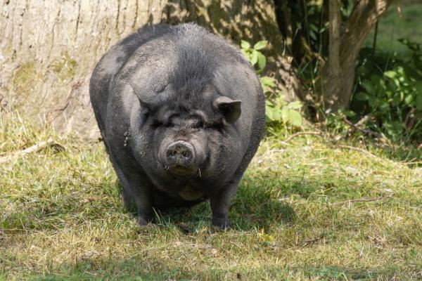 pot bellied pigs sus scrofa f