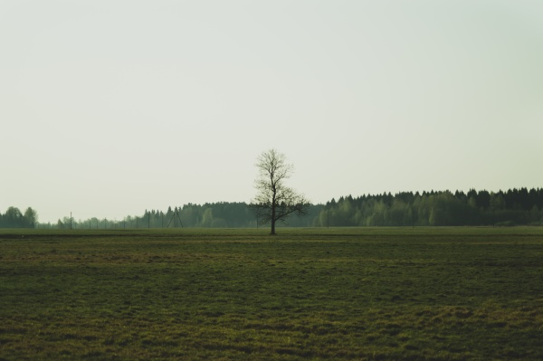 lonely tree in the meadow with