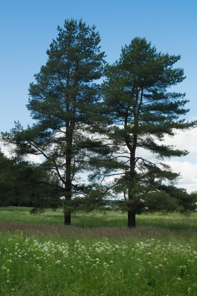 two trees in the meadow with