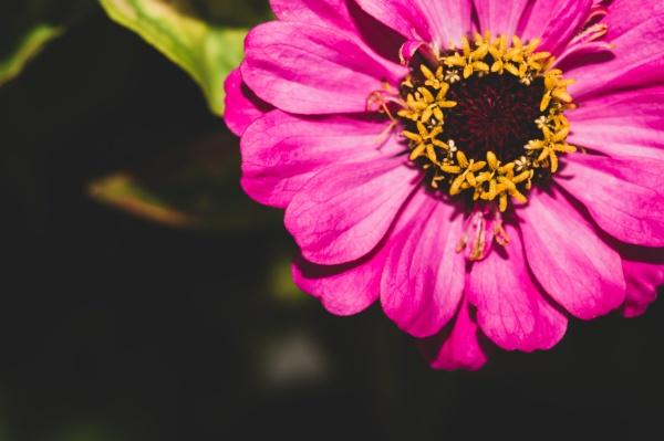 pink flower in the garden close