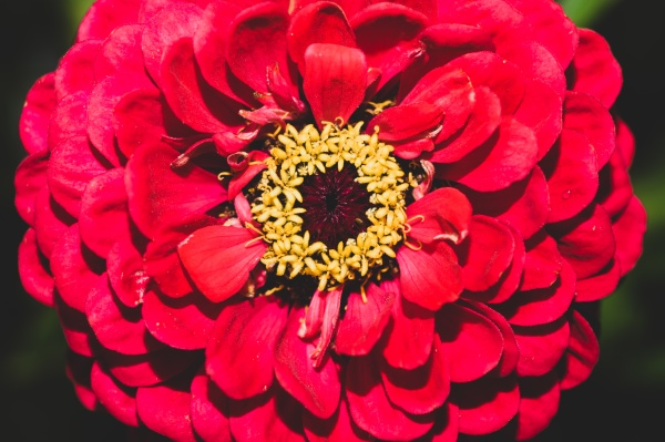 red flower in the garden close