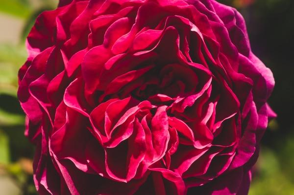 red rose close up scarlet flower