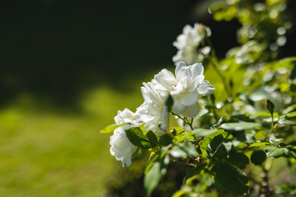 general view of white flowers in