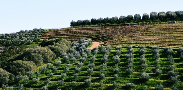 landscape with olive trees on a
