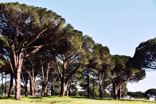 close up of big cluster pine