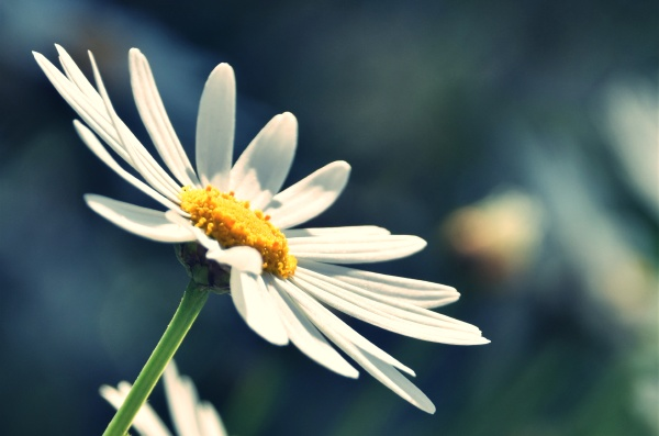 close up of a daisy in