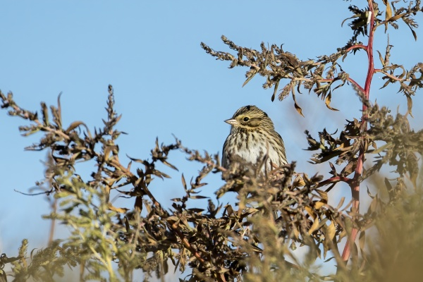 juvenile white crowned sparrow in brush